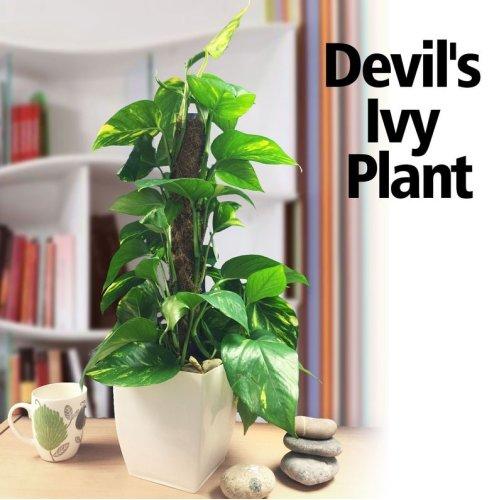 1 Evergreen Golden Pothos Devil's Ivy House Office Plant Gloss White Milano Pot