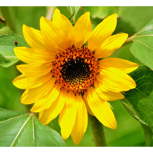 30 Autumn Beauty Sunflower Seeds   Helianthus Annuus Seeds