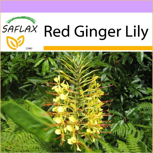 SAFLAX  - Red Ginger Lily - Hedychum gardnerianum - 10 seeds