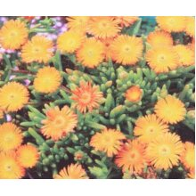 Delosperma aberdeenense Orange Young plant in 9cm pot x 3 Pots