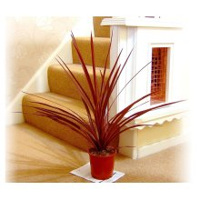 1 Australis Red Star, Cordyline- Large Floor Plant Evergreen Outdoor Tree for Office House Garden