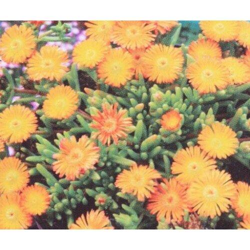 Delosperma aberdeenense Orange Young plant in 9cm pot x 3 Pots
