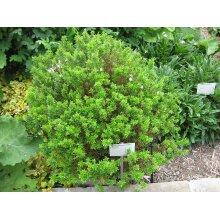 Myrtus Communis Tarentina Myrtle Young Plant sent in 9cm Pot x 3 Pots