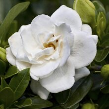 Gardenia Crown Jewels Hardy Fragrant Snow White Flowers Plant 9cm pot