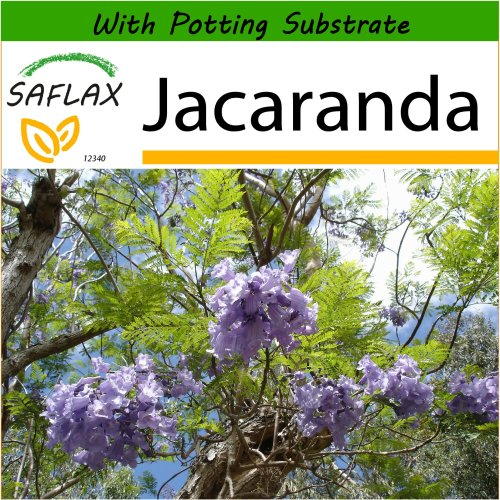 SAFLAX  - Jacaranda - Jacaranda mimosifolia - 50 seeds - With potting substrate for better cultivation