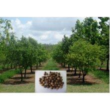50 Seeds of Precious Santalum Album Indian Sandalwood Tree for growing