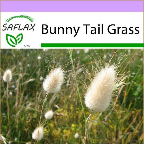 SAFLAX  - Bunny Tail Grass - Lagurus ovatus - 100 seeds