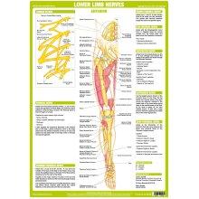 Lower Limb Nervous System Poster -  Anterior