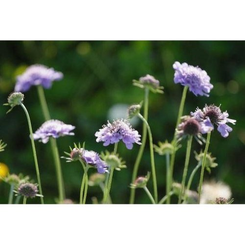 Wild Flower - Small Scabious - Scabiosa Columbaria - 1000 Seeds