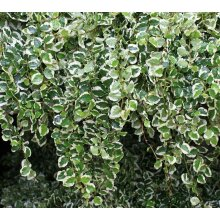 Ficus Pumila Variegata Creeping Fig Young Plant in 9cm pot x 3 Pots