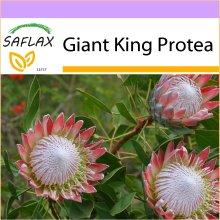 SAFLAX  - Giant King Protea - Protea cynaroides - 5 seeds