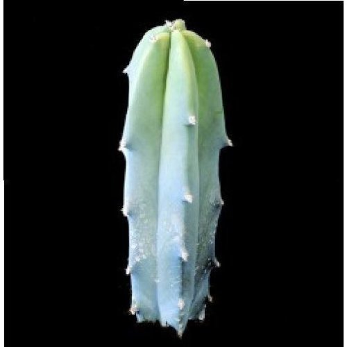 Flower - Cactus - Myrtillocactus Geometrizans - 10 Seeds
