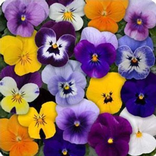 Viola Sorbet winter Flowering approx 20 seeds lots of colours