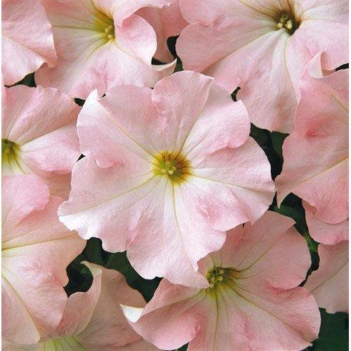 Flower - Petunia - Express Appleblossom  F1 - 50 Seeds