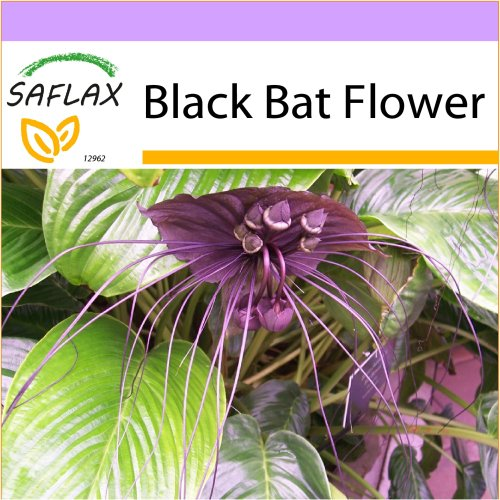 SAFLAX  - Black Bat Flower - Tacca chantrieri - 10 seeds