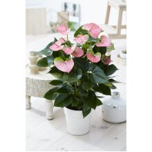1 X Pink Flamingo Flower Anthurium Live Plant In Ceramic Pot For Home/Office