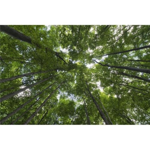 Looking Up Into The Canopy of Deciduous Trees in An Ontario Forest - Strathroy Ontario Canada Poster Print - 38 x 24 in. - Large