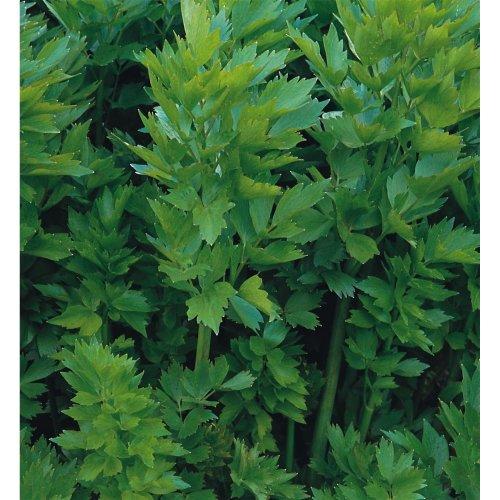 Herb - Lovage - 100 Seeds