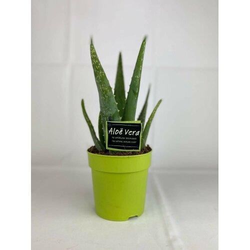 Aloe Vera plant In 12cm Pot