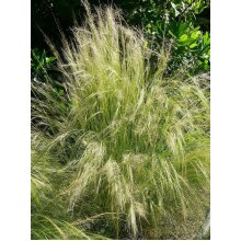 Stipa tenuissima Mexican feather grass Young Plant 9cm Pot x 3 Pots