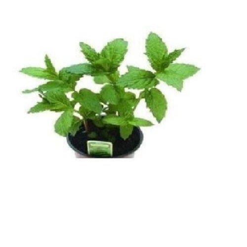 Herb - Peppermint - 100 Seeds