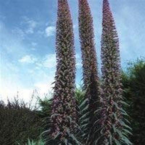 Flower - Echium Pininana - Pink Fountain - 100 Seeds