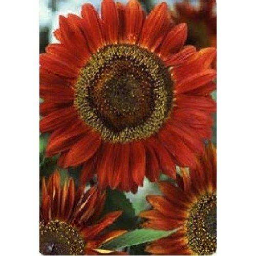 Flower - Sunflower - Red Sun - 100 Seeds