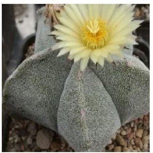 Flower - Cactus - Astrophytum Myriostigma - 50 Seeds