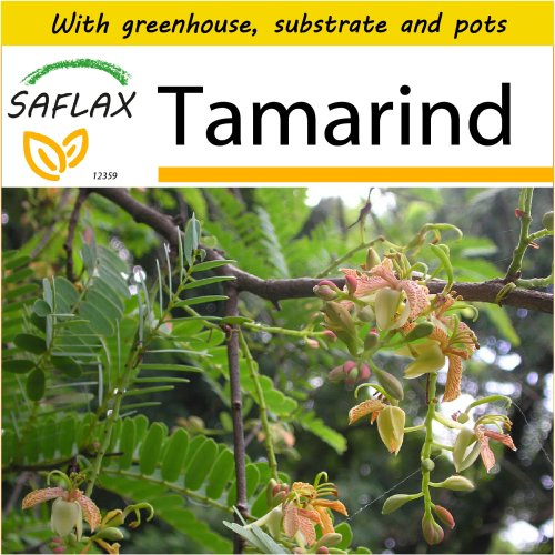 SAFLAX Potting Set - Tamarind - Tamarindus indica - 4 seeds - With mini greenhouse, potting substrate and 2 pots