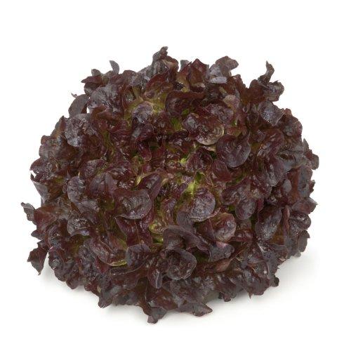 Organic Vegetable - Oak Leaf Lettuce - Cornouai RZ  (83-98) - 20 Seeds
