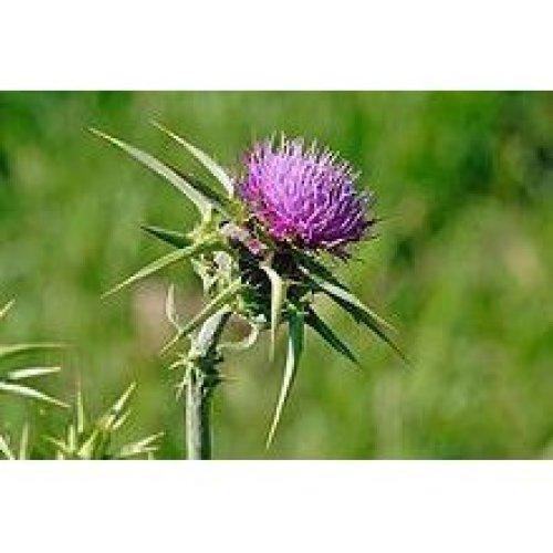 Wild Flower - Milk Thistle - Silybum Marianum - 30 Seeds