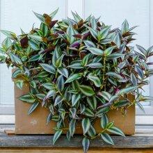 Tradescantia Zebrina - Wandering Jew   Best Indoor Plants   15-25Cm Potted
