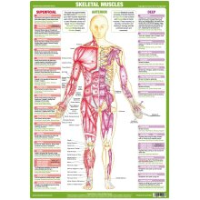 Muscle Anatomy Anterior Poster