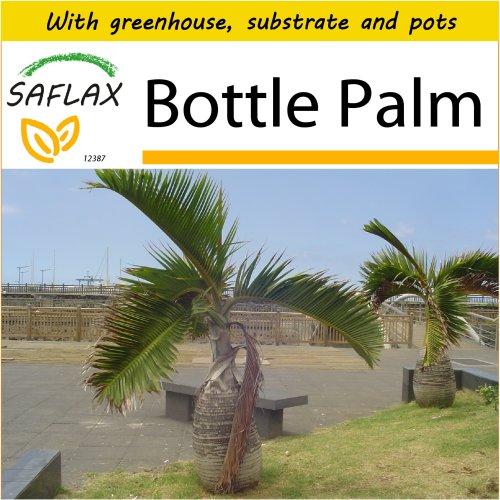 SAFLAX Potting Set - Bottle Palm - Hyophorbe lagenicaulis - 3 seeds - With mini greenhouse, potting substrate and 2 pots
