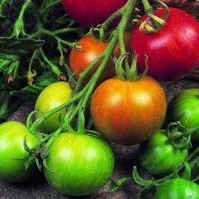 Kings Tigerella Tomato Seeds 75 Seeds Vegetable Grow Your Own