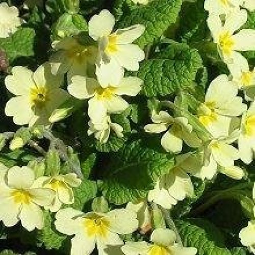 Wild Flower - Common Primrose - Primula Vulgaris - 50 Seeds (Small)