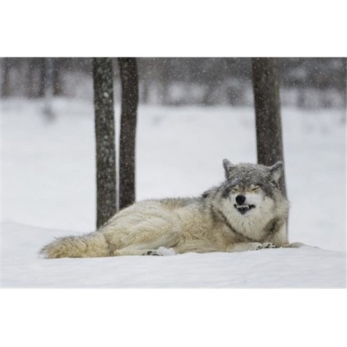 Grey Wolf Canis Lupus Showing Submission Behaviour - Montebello Quebec Canada Poster Print by Dominic Marcoux, 19 x 12