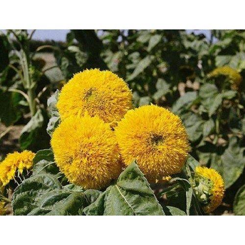 Flower - Sunflower Dwarf - Teddy Bear - 120 Seeds
