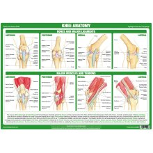Knee Joint Anatomy Poster