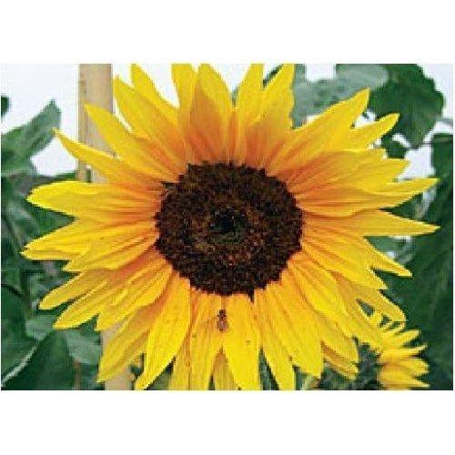 Flower - Sunflower - Autumn Beauty - 150 Seeds