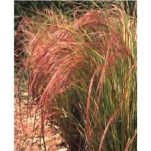 Grass - Pheasant's Tail - Stipa Arundinacea - 100 Seeds