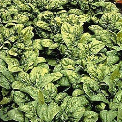 Vegetable Medania 750 Seeds Spinach