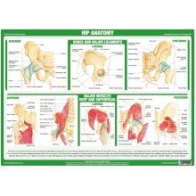 Hip Joint Anatomy Poster
