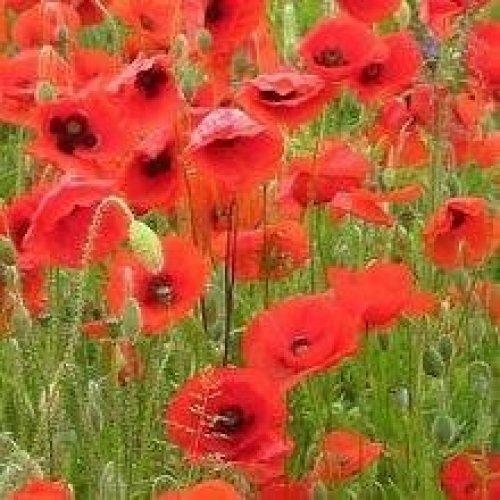 Wild Flower - Red Common Field Poppy - Papaver Rhoeas - 1KG (XXXbulk)