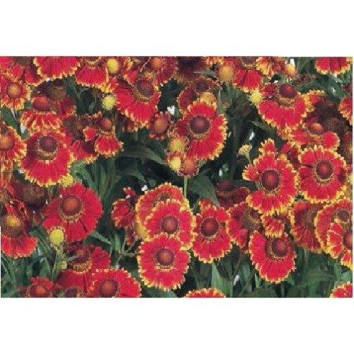 Flower - Helenium - Helena Red - 20 Seeds