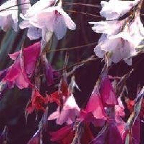 Flower - Dierama - Species Mixed - 10 Seeds