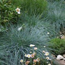 Festuca glauca Elijah Blue Grass Young Plant 9cm Pot x 3 Pots