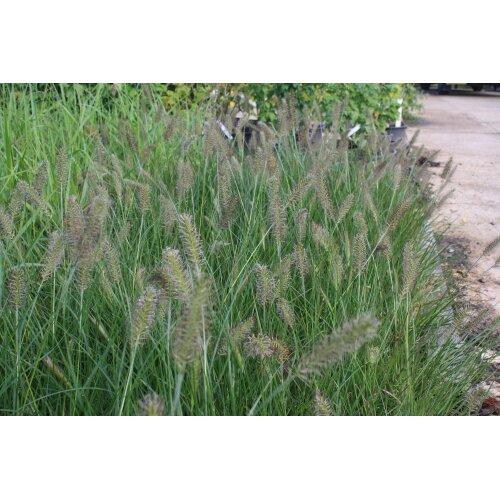 Pennisetum alopecuroides Fountain grass Young plant 9cm Pot x 3 Pots