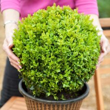 Pair of Balls Topiary Buxus Sempervirens Trees Decking and Patios.30cm