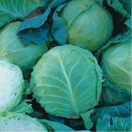 Vegetable - Cabbage - Holland Late Winter - 100 Seeds